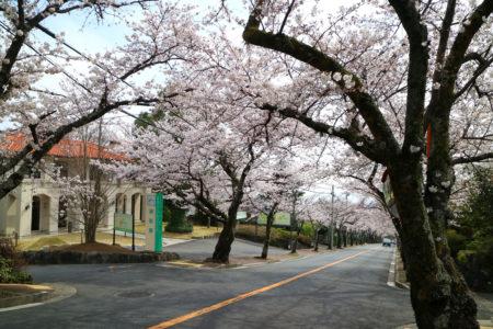 桜並木の開花状況 3.26(月)