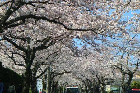 3/29 伊豆高原桜並木は満開です。
